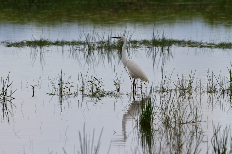 Great Egret Reflected In Pond
