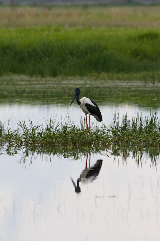 Black-Necked Stork Reflected In Pond