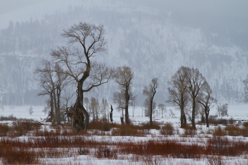 Cottonwoods In Lamar River Valley