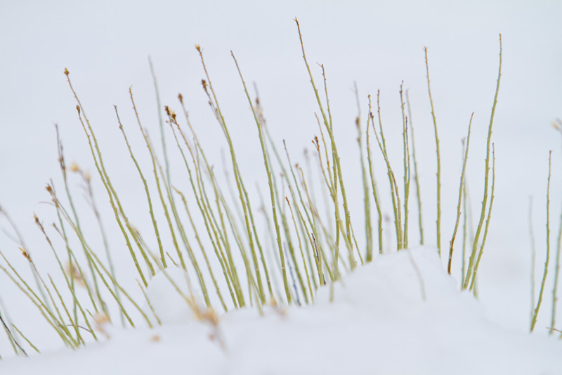 Stems Poking Through Snow