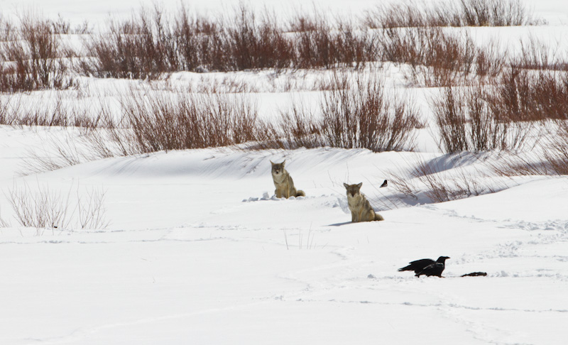 Coyotes Near Kill