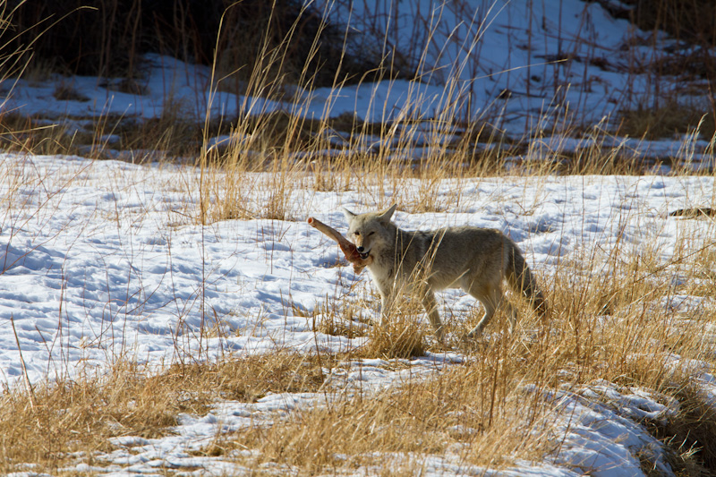 Coyote Carrying Bone