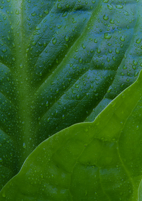 Raindrops On Skunk Cabbage Leaves