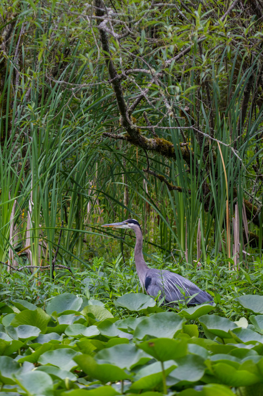 Great Blue Heron In Lillys