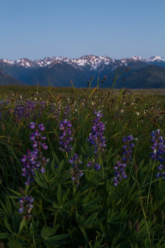 Lupines And The Olympic Mountains At Twilight