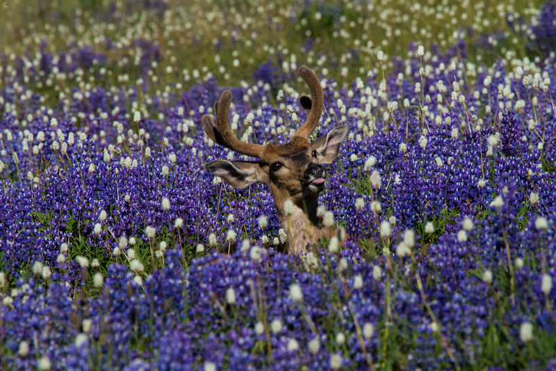 Mule Deer In WIldflowers