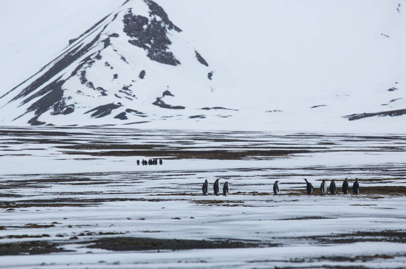 King Penguins On Snowfield