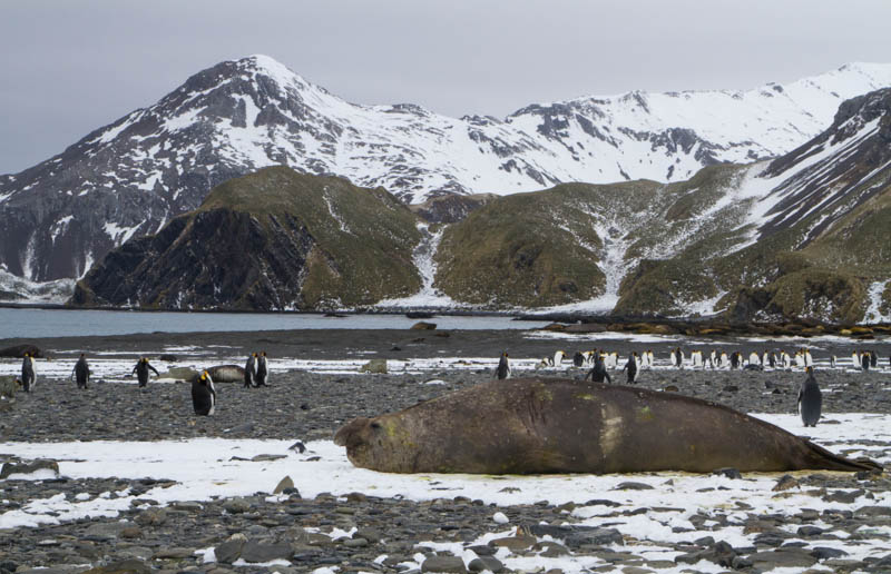 Southern Elephant Seal And King Penguins On Beach