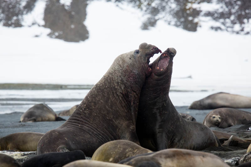 Southern Elephant Seals Fighting