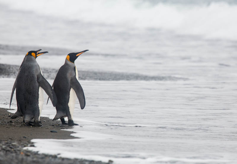 King Penguins In Surf