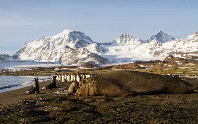 Southern Elephant Seal, Antarctic Fur Seals And King Penguins On Beach
