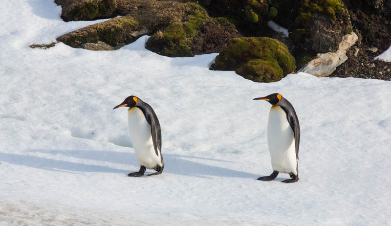 King Penguins On Snow
