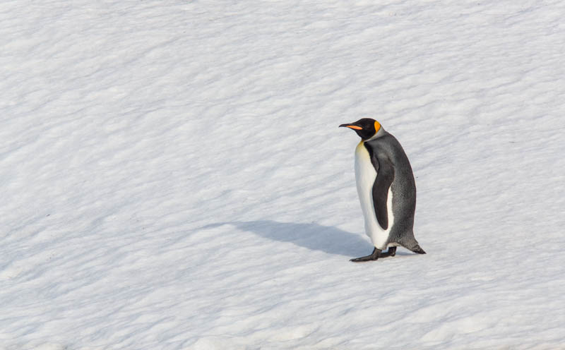 King Penguin On Snow