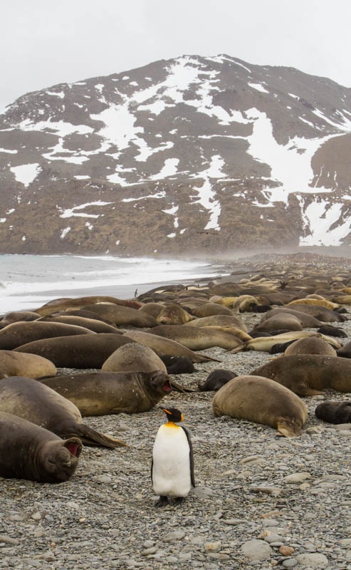 King Penguin And Southern Elephant Seals On Beach