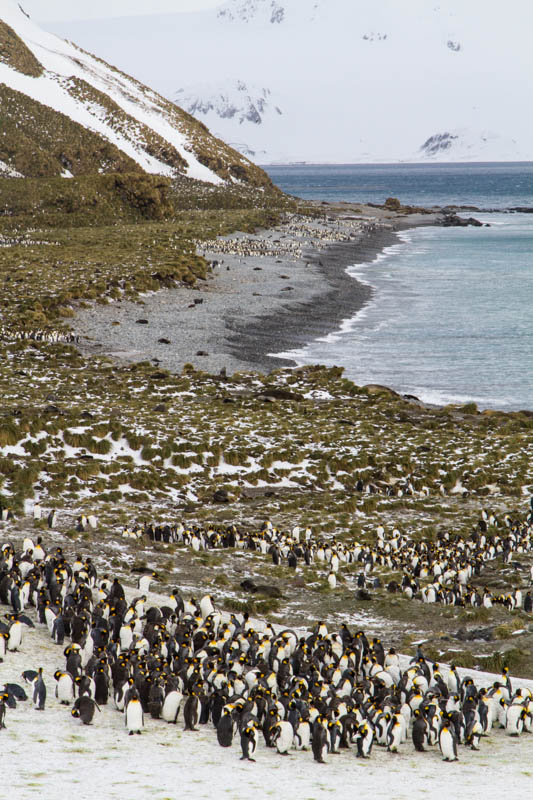 King Penguins On Beach
