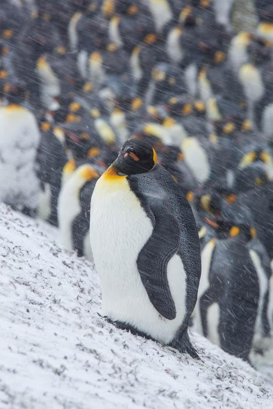 King Penguin In Blizzard