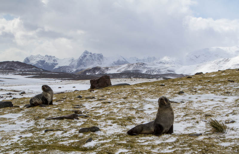 Antarctic Fur Seals