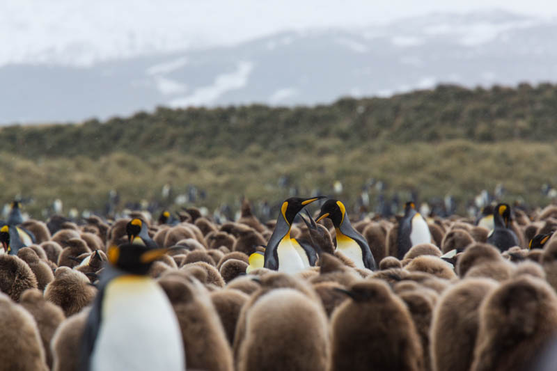 King Penguins In Colony