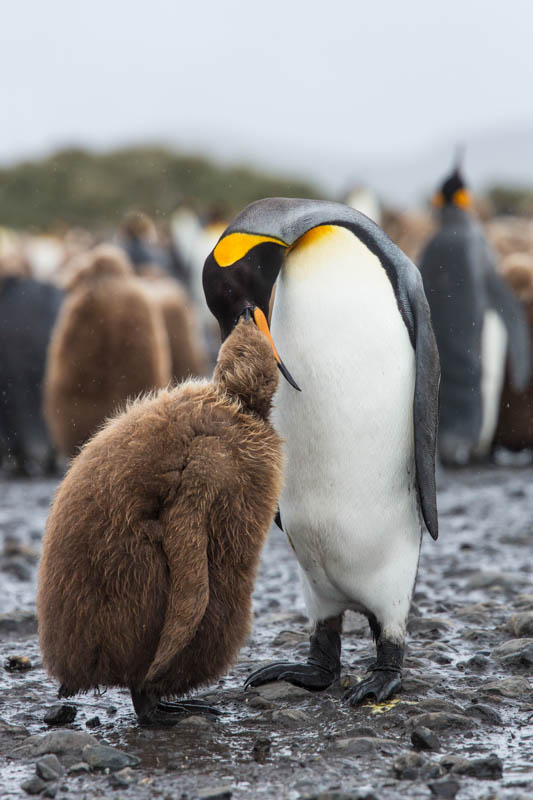 King Penguin Feeding Chick