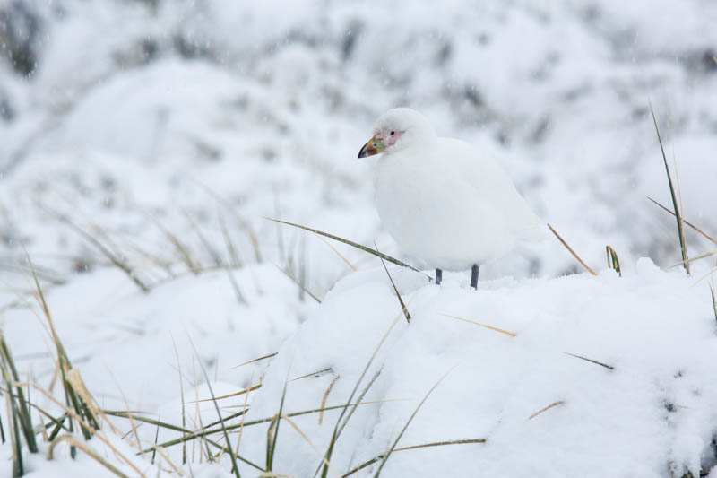 Pale-Faced Sheathbill
