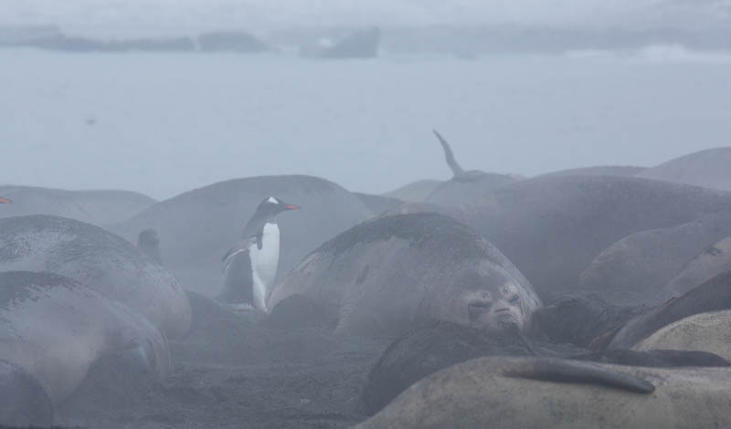 Gentoo Penguin And Southern Elephant Seals On Beach
