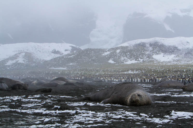 Southern Elephant Seals On Beach