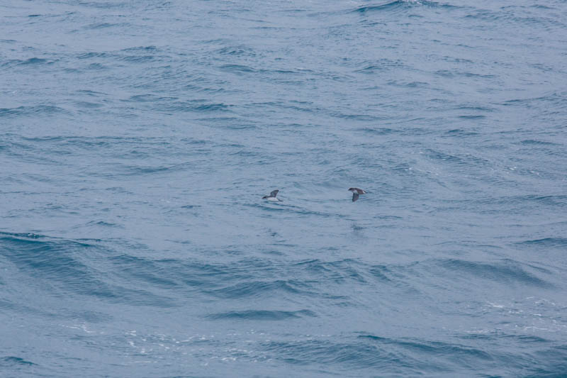South Georgia Diving-Petrel And Common Diving-Petrel In Flight