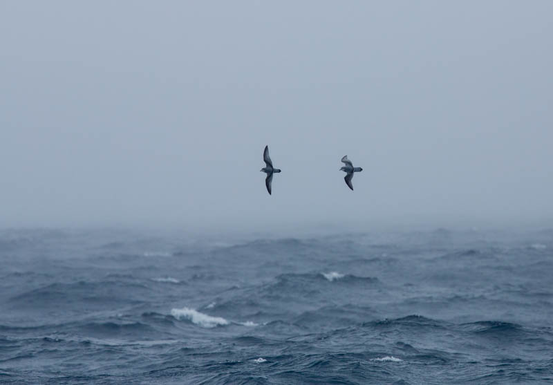 Antarctic Prion and Slender-Billed Prion In Flight