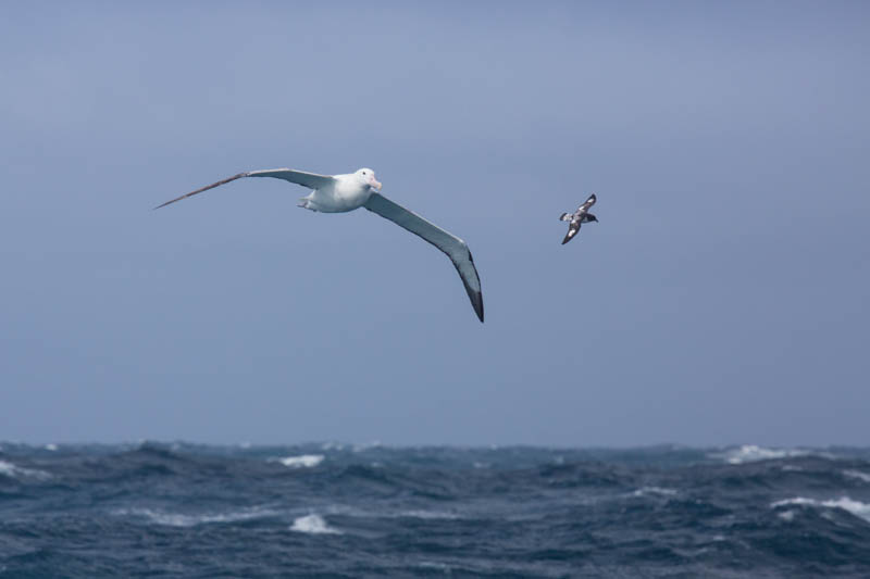 Royal Albatross And Cape Petrel In Flight