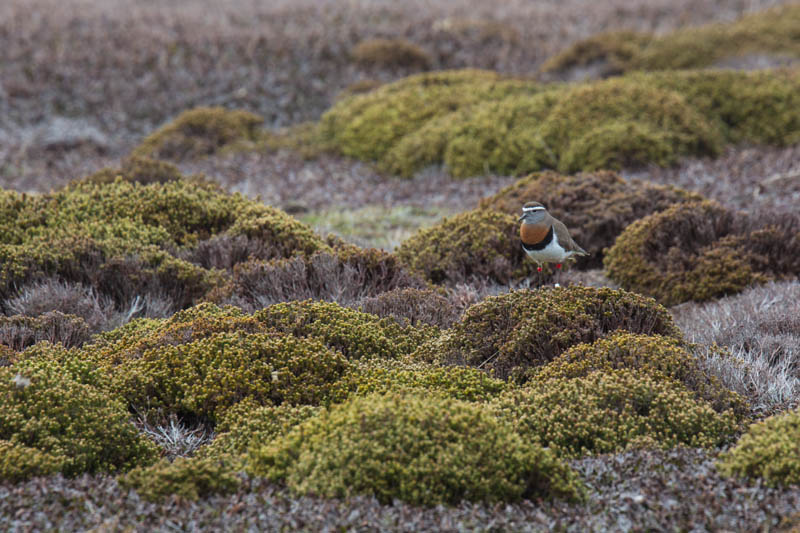 Rufous-Chested Dotterel