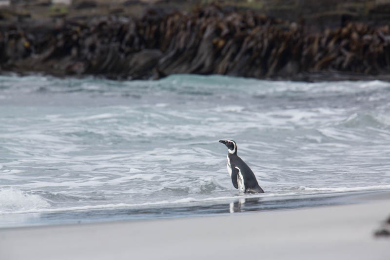 Magellanic Penguin In Surf