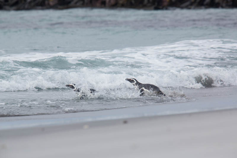 Magellanic Penguins In Surf