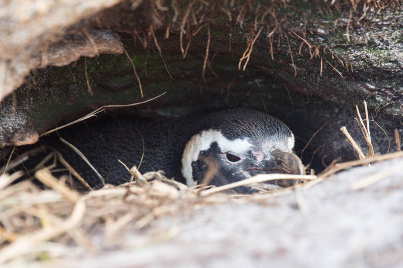 Magellanic Penguin In Burrow
