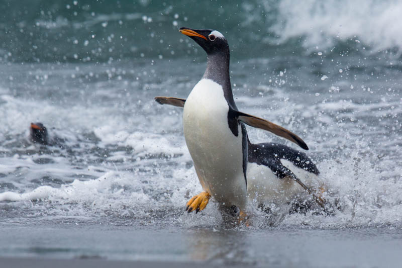 Gentoo Penguin Coming Ashore