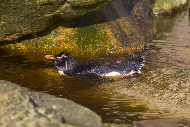 Rockhopper Penguin Bathing