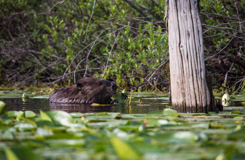 Beaver Eating Lilys