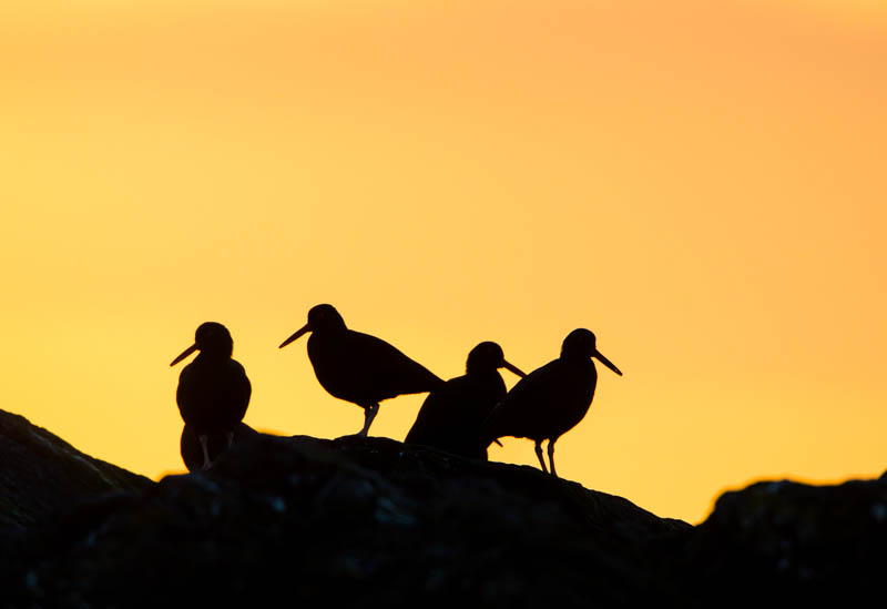 Black Oystercatchers Silhouetted At Sunset