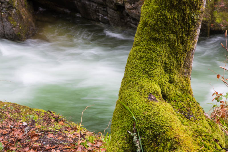 Moss Covered Tree Along River