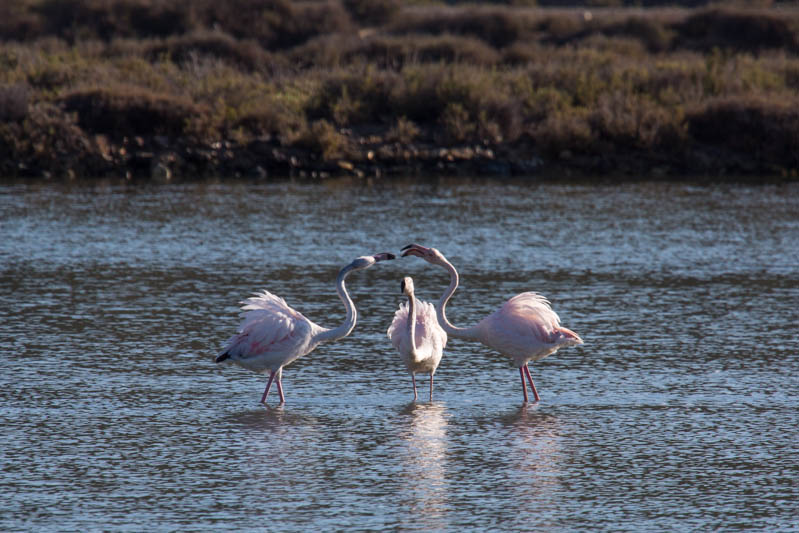 Greater Flamingos Fighting