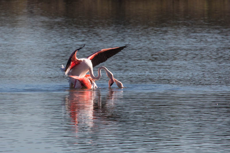 Greater Flamingos Mating