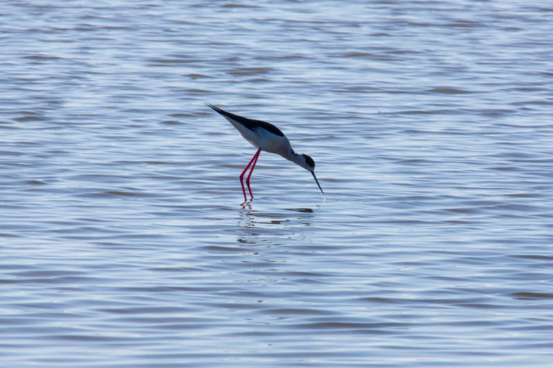 Black-Winged Stilt Feeding