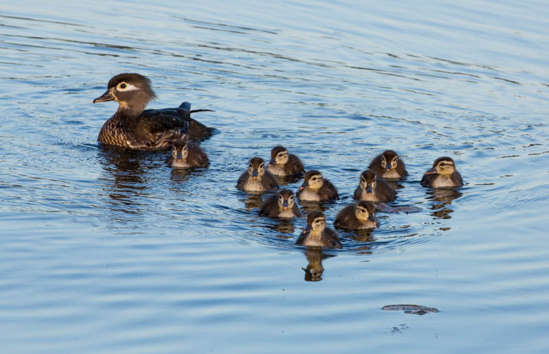 Wood Duck And Ducklings