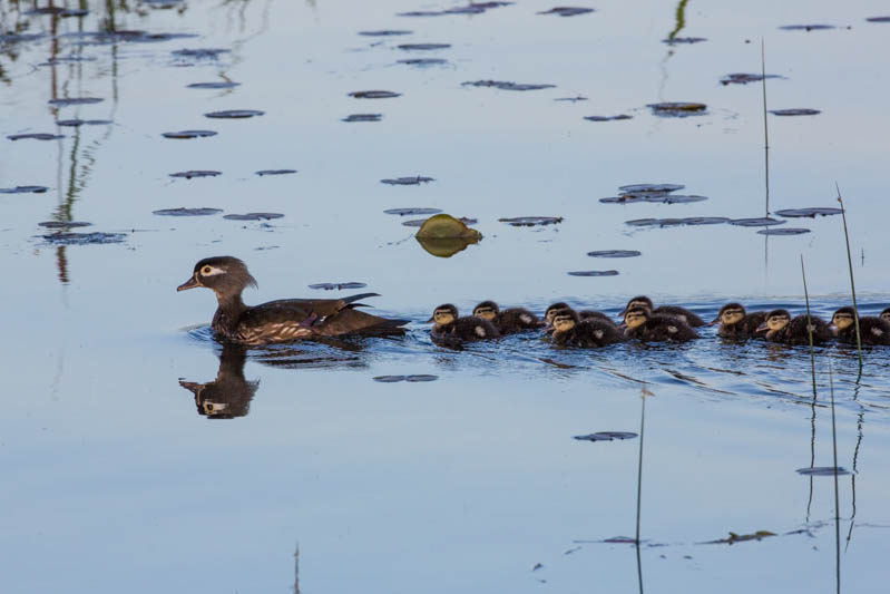 Wood Duck Ducklings