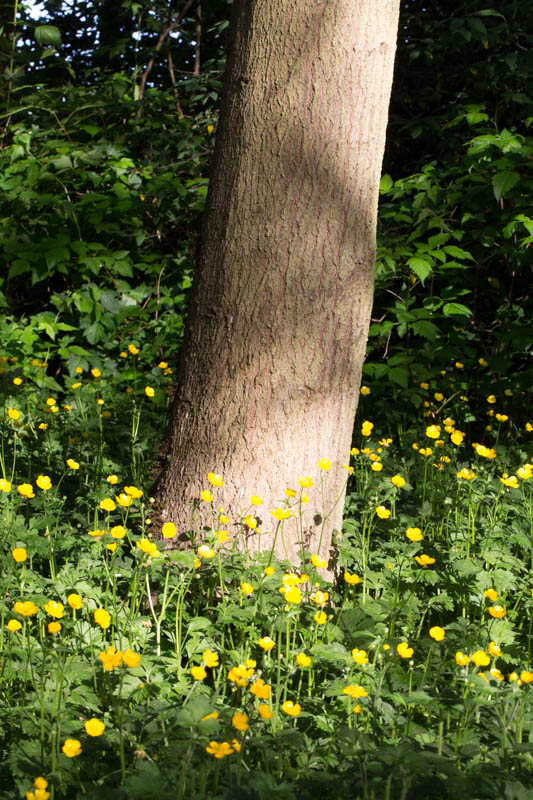 Buttercups And Tree Trunk