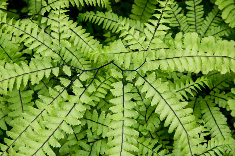 Maidenhead Fern Detail