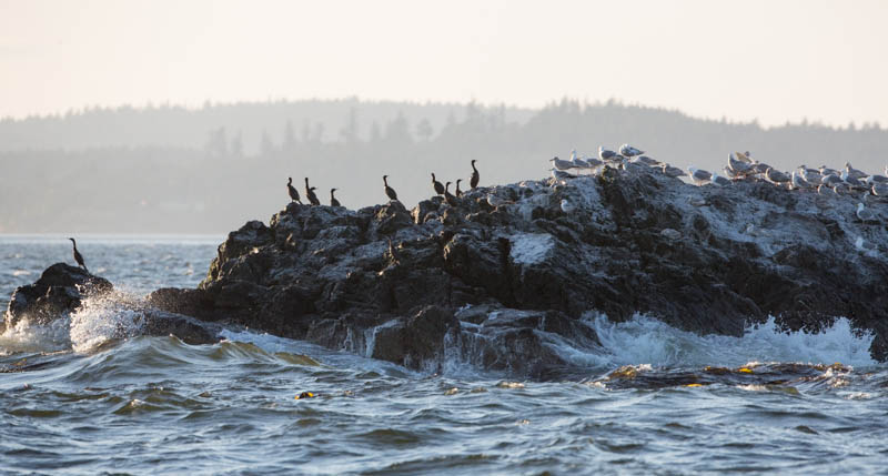 Gulls And Pelagic Cormorants On Rock