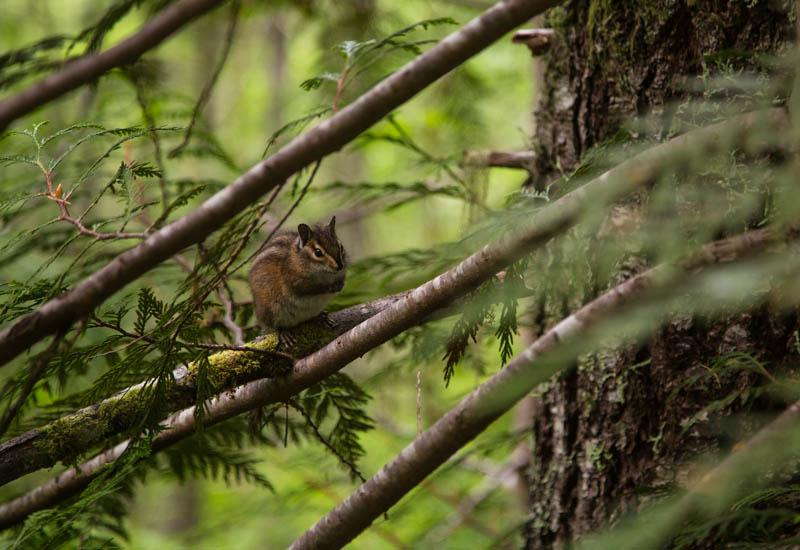 Townsends Chipmunk