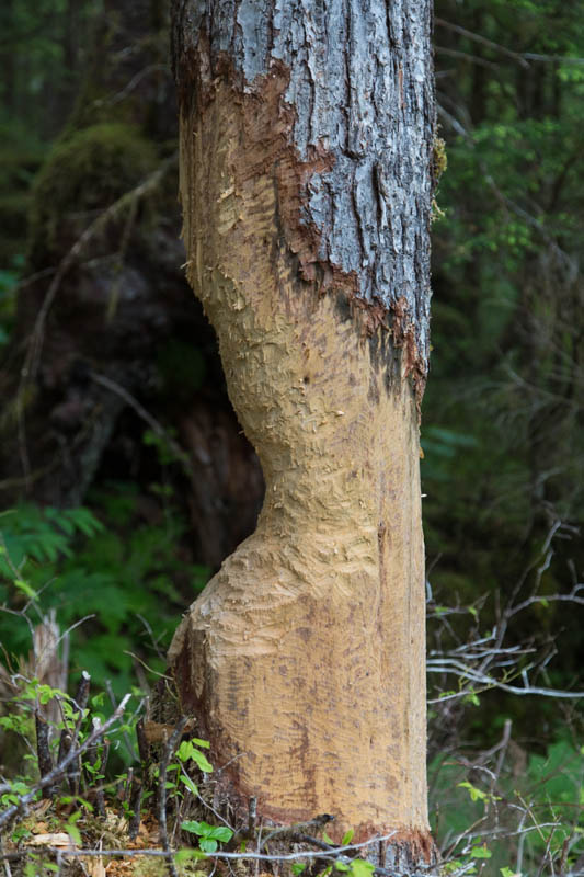 Beaver-Gnawed Tree Trunk