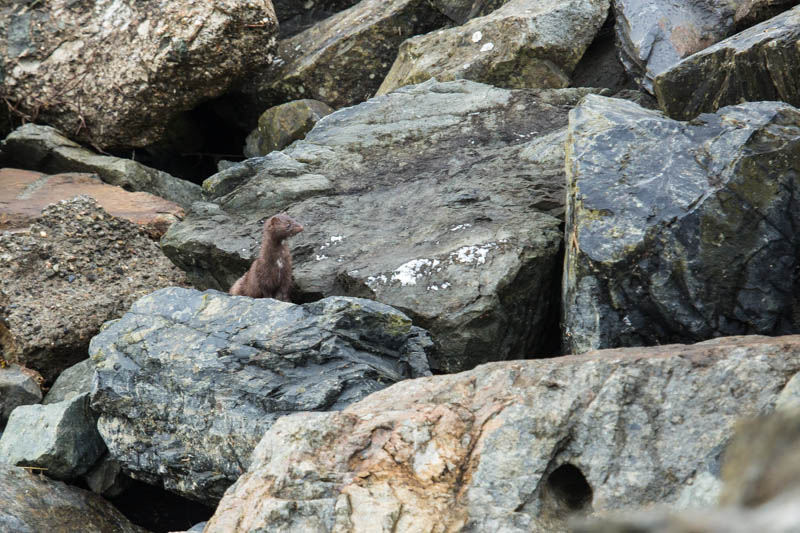 Mink In Rocks