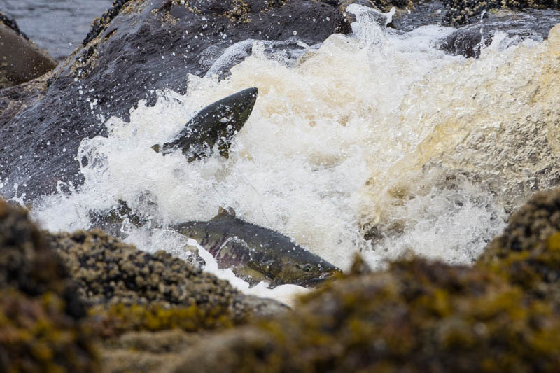 Salmon Swimming Up Waterfall